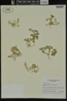 Scleranthus annuus subsp. annuus image