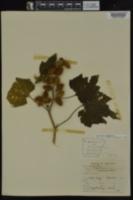 Xanthium strumarium image