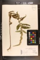 Teucrium canadense image