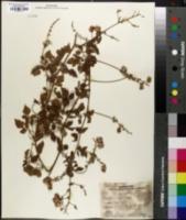 Image of Serjania brachycarpa