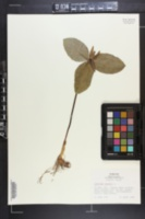 Trillium sessile image