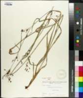 Image of Rhynchospora elliottii