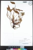 Monochoria vaginalis image