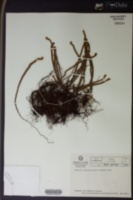 Jamesonia canescens image