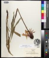 Echinacea simulata image