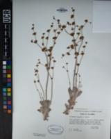 Image of Eriogonum saxatile