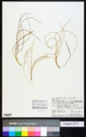 Image of Triglochin striatum