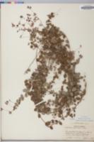 Lespedeza procumbens image