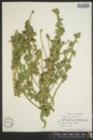 Cichorium endivia image