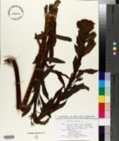 Euphorbia palustris image