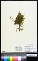 Prosopis pallida image