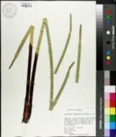 Image of Eleocharis interstincta