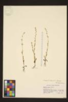 Myosotis discolor image
