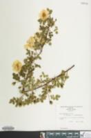 Rosa x harisonii image