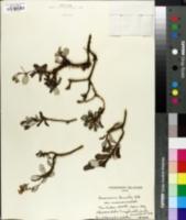 Image of Geranium humile