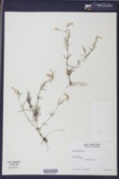 Phlox stellaria image
