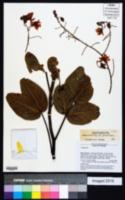 Image of Chamaecrista setosa
