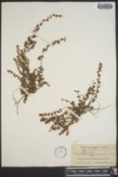 Image of Euphorbia caperata