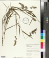 Chasmanthium ornithorhynchum image