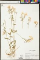 Phlox maculata image