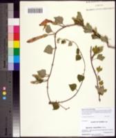 Image of Ipomoea macrorhiza