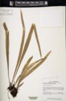Image of Lepisorus affinis