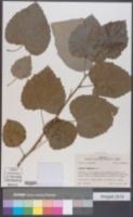 Populus tomentosa image