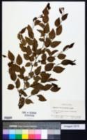 Image of Carpinus turczaninowii