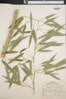 Image of Phyllostachys aureosulcata