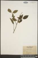 Carpinus americana image
