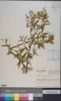 Image of Cordia angustifolia