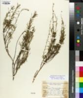 Santolina rosmarinifolia image