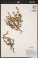 Erythranthe inflatula image