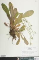Image of Saxifraga micranthidifolia