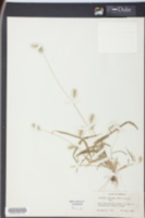 Setaria corrugata image