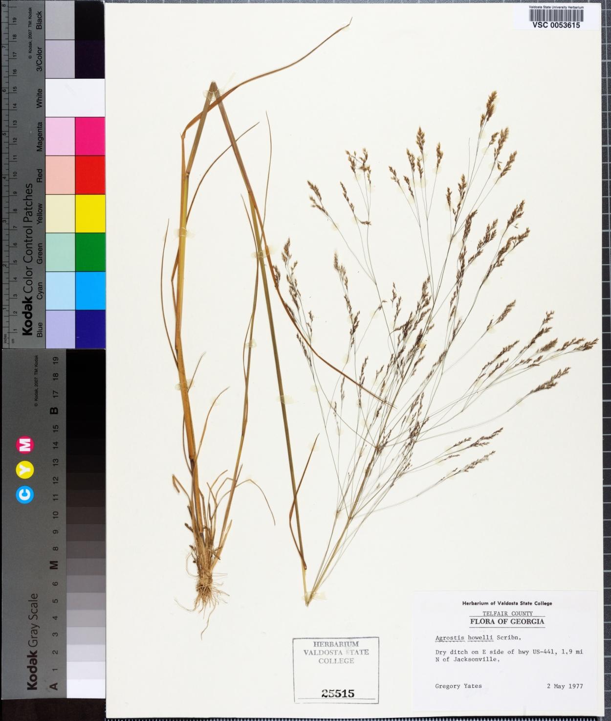 Agrostis howellii image