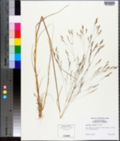 Image of Agrostis howellii