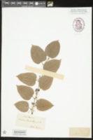 Smilax pseudochina image