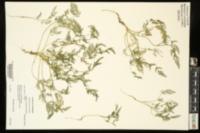Torilis nodosa image