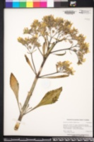 Image of Kalanchoe grandiflora
