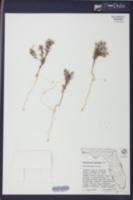 Image of Polycarpaea nebulosa