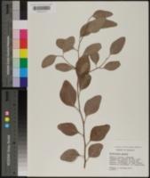 Image of Eucalyptus gunnii