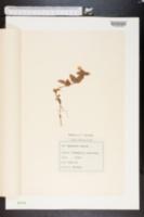 Image of Lysimachia nemorum