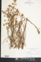 Symphyotrichum adnatum image