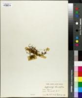 Image of Hydrocotyle rotundifolia