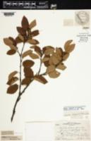 Image of Betula x purpusii