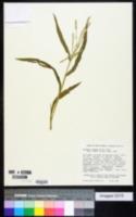 Image of Acrachne racemosa