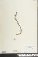 Image of Utricularia geminiscapa