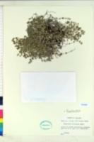 Image of Chamaesyce pinetorum