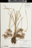 Cyperus distans image